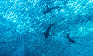 Jack_fish_and_reef_sharks_1